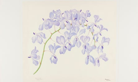 An orchid drawing by Florence Helen Woolward gifted to Kew Gardens