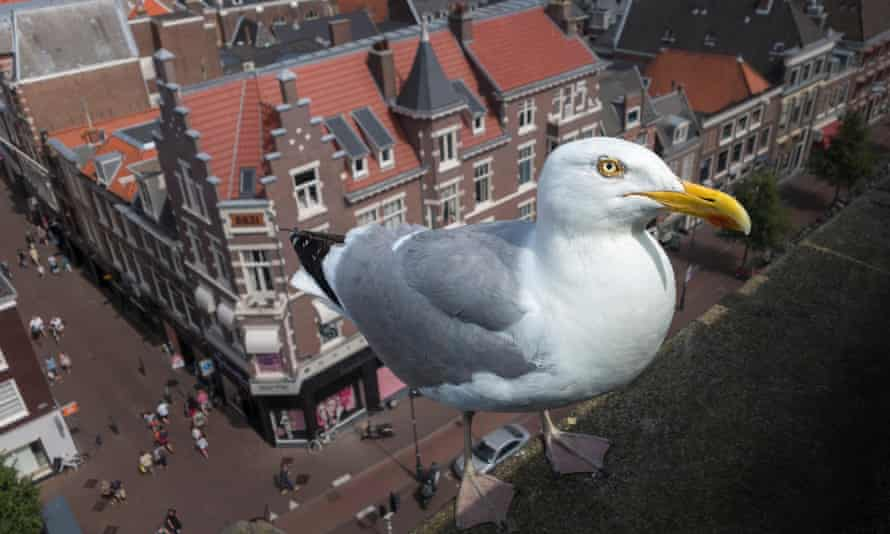 A large herring gull (Larus argentatus argenteus) on a roof high above the city.