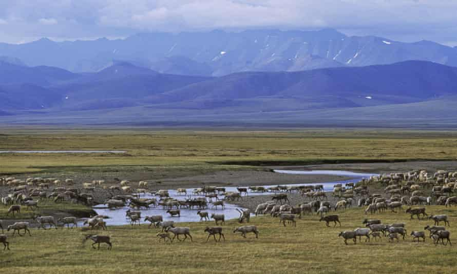 The Porcupine caribou herd crossing the Turner River. Drilling in the refuge has been fiercely opposed for decades.