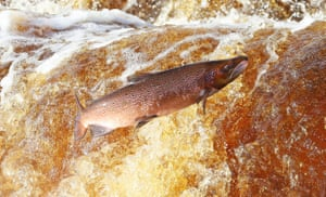 A salmon makes its way upstream on the River Tyne. Thousands of the fish have been helped by a new man-made fish pass at Hexham Bridge, Northumberland, UK