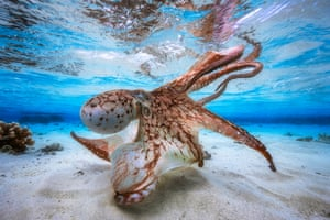 "Underwater photographer of the year – winner. Dancing Octopus by Gabriel Barathieu (France). Location: Island of Mayotte, off the coast of south-east Africa""Balletic and malevolent,"" one judge said of this octopus, hunting in a lagoon. Barathieu waited until spring tides when there was just 30cm of water on the flats and plenty of light in the shallows."