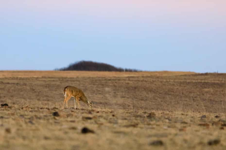 A white-tailed yearling nibbles on sparse grass at the Tallgrass Prairie Preserve in Pawhuska, Oklahoma. Oklahoma Governor Kevin Stitt urged the EPA to strip Native tribes of regulatory authority over their land.