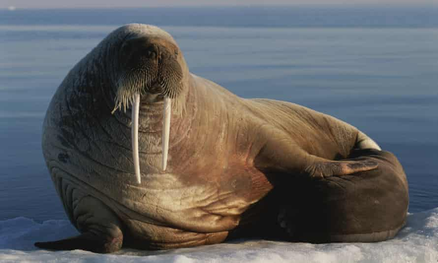 An Atlantic walrus with her baby on an ice floe