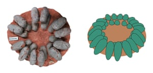 The open arrangement of a fossil oviraptor nest (left) and a reconstructed oviraptor nest (right) with blue-green eggs. Note that the original inclination of the eggs would have been steeper due to sediment compaction.