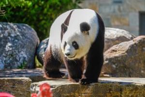 Female panda Fu Ni receives festive treats at Adelaide zoo in December 2017.
