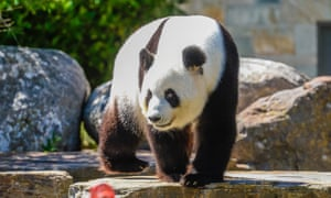 Panda Fu Ni, who is on loan from China, has been at Adelaide zoo for a decade.