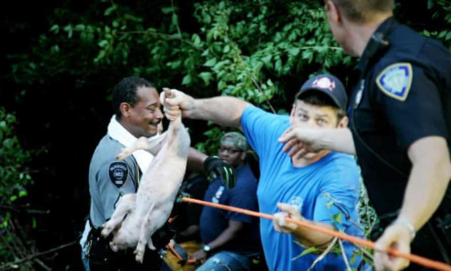 Police officer retrieves a piglet after a trailer carrying 2,200 animals overturned in Xenia Township, near Dayton, Ohio