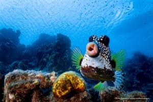A boxfish in Curacao, Dutch Caribbean