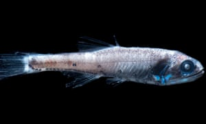 A lanternfish, one of 500 deep-sea bony fish species added to the red list.