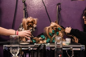 Two Yorkshire terriers are groomed