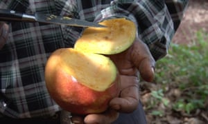 Fruit fly infestation, if uncontrolled, can destroy farmers' mango production.
