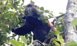 A golden monkey up a tree  in Mgahinga national park