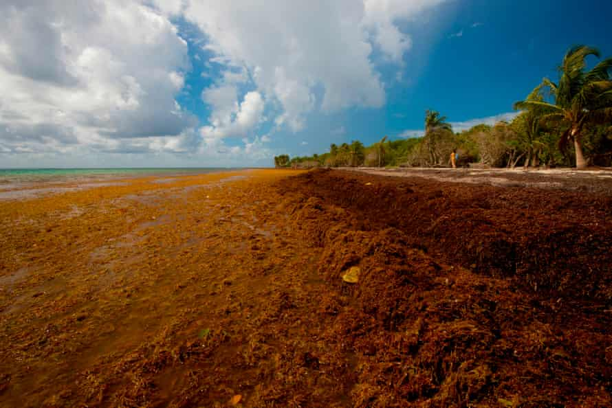 Sargassum seaweed on the Salines beach in Le Gosier, Guadeloupe.