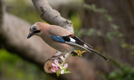 A jay, the most colourful member of the crow family, sits on the branch of an apple tree.
