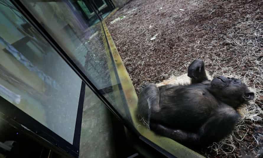 یک شامپانزه صفحه نمایش غول پیکر داخل محفظه خود را در باغ وحش Dvur Kralove تماشا می کند