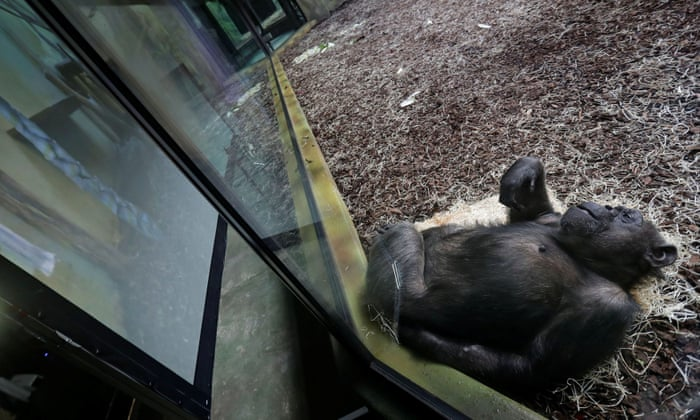 Zoom Meeting scimpanzè