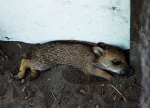 A young peccary, rescued from a forest ravaged by a wildfire, rests at an animal shelter in Aguas Calientes, Bolivia
