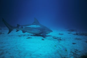 Bull shark off the coast of Tulum in the small Sian Ka'an biosphere reserve