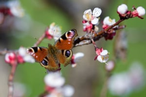 A peacock butterfly gathers pollen on a blooming branch of an apricot tree, near Pristina, Kosovo.