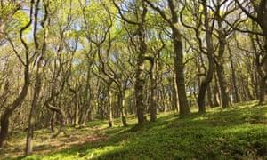 Sessile oaks coming into leaf.