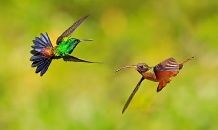 A copper-rumped hummingbird, left, and a rufus-breasted hermit hummingbird hovering, Tobago.