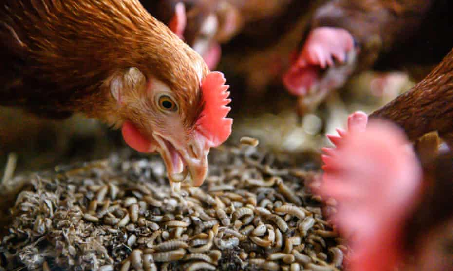 Grub's up: why maggot meals are a hit on one UK chicken farm | Environment | The Guardian