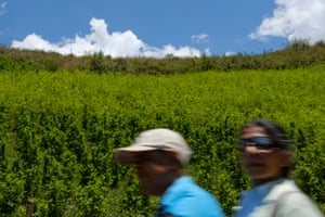 Local residents on a motorbike speed past a hillside planted with coca. Miranda - which is part of the Cauca Valley - is the most productive coca-growing region and nearly tripled its coca production from 12,000 to 32,000 hectares between 2014 and 2016. The government is pushing farmers, including many Nasa, to switch to other crops but the most fertile land is already taken by the sugarcane plantations on the plains.