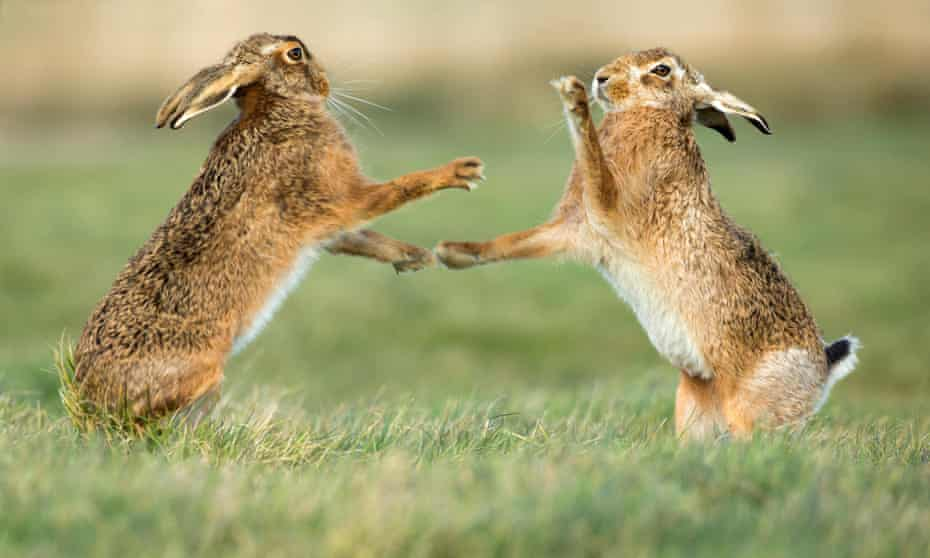 Brown hares standing and boxing during mating season in March.