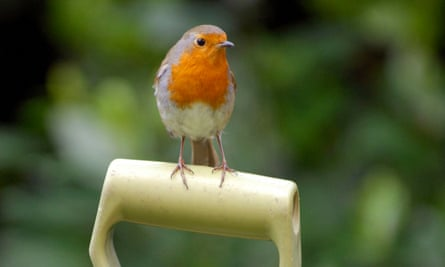A robin perched on a garden fork