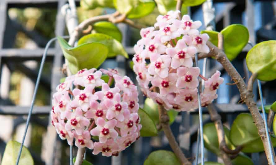 White Flower Hoya carnosa