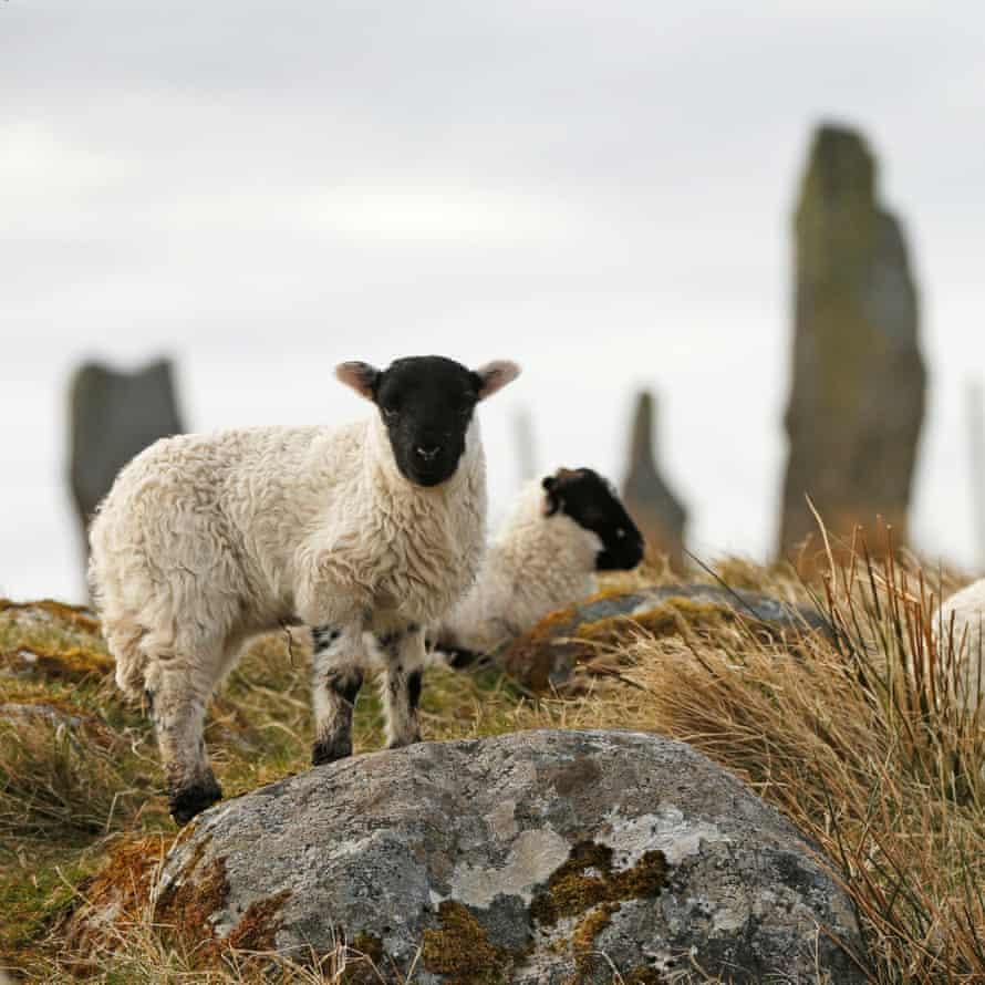 Lambs play near the Calanais standing stones.