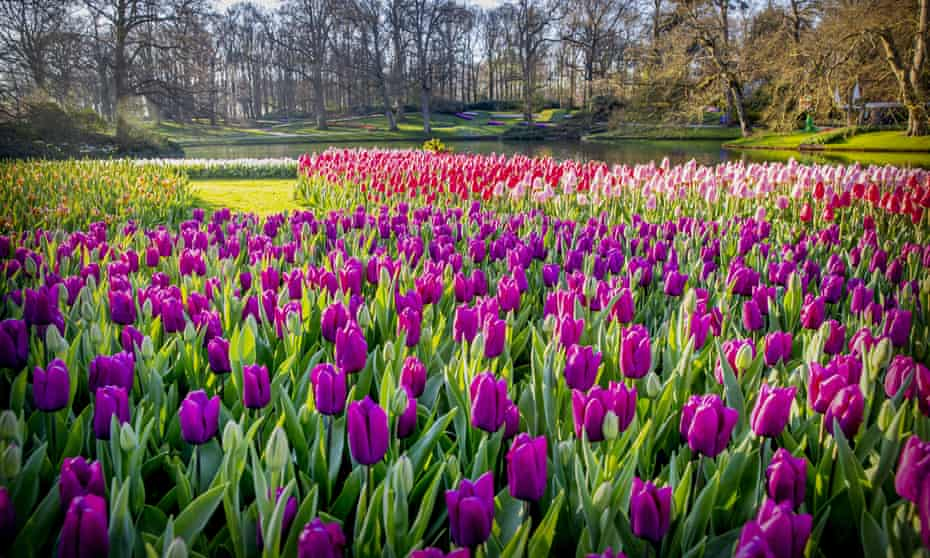 Tulips bloom in the Keukenhof flower garden, which is closed because of the Coronavirus.