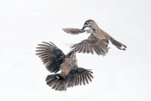 Combat between spotted nutcracker in snow in the Alps in Italy