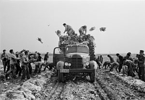 Peasants at a commune toss cabbages on to a truck