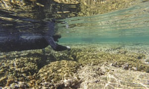 A researcher swims above coral being studied for bleaching, in Kaneohe Bay near Kaneohe, Hawaii.