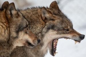 Göttingen, Germany. Wolves at Wildpark Neuhaus