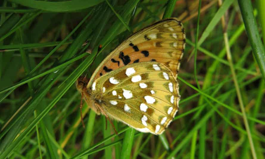 A dark green fritillary, with its wings closed, in the cool morning air.