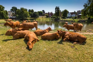 Cattle cooling themselves at the river Stour, Suffolk.