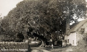 The giant walnut tree in Bossington, Exmoor, circa 1910.