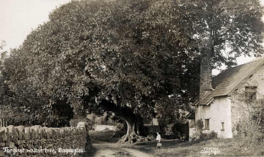 The giant walnut tree in Bossington, Exmoor, circa 1910.