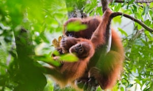Sumatran orangutans are pictured in the Leuser ecosystem, August 2015.