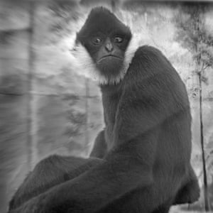 Jimmy, White Cheeked Gibbon, London ZooPrimates (https://www.21steditions.com/anne-berry), published by 21st Editions, with 19 signed platinum prints and 2 ambrotypes, is in the permanent collection of The National Gallery of Art Special Collections.