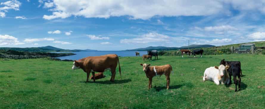 Cattle in Sheeps Head, Co Cork, Ireland
