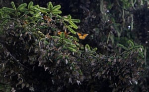 The first clusters of families of Monarch butterfly at the oyamel firs forest in Temascaltepec, Mexico