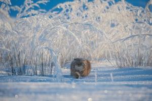 Winter's Tale by Valeriy Maleev. A Pallas's cat hunts in the snow