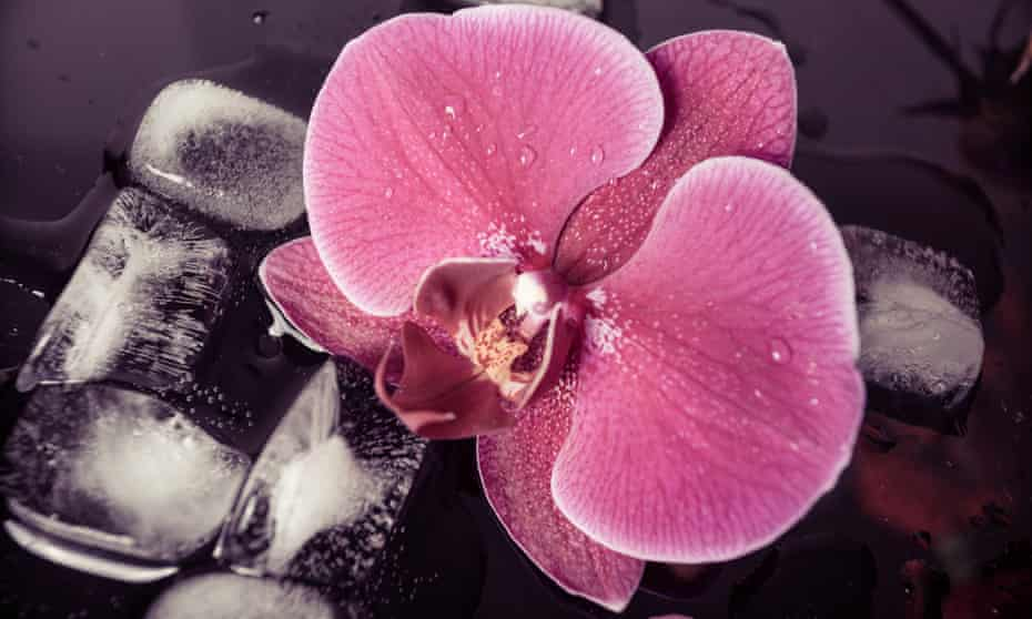 Purple orchid surrounded by ice cubes