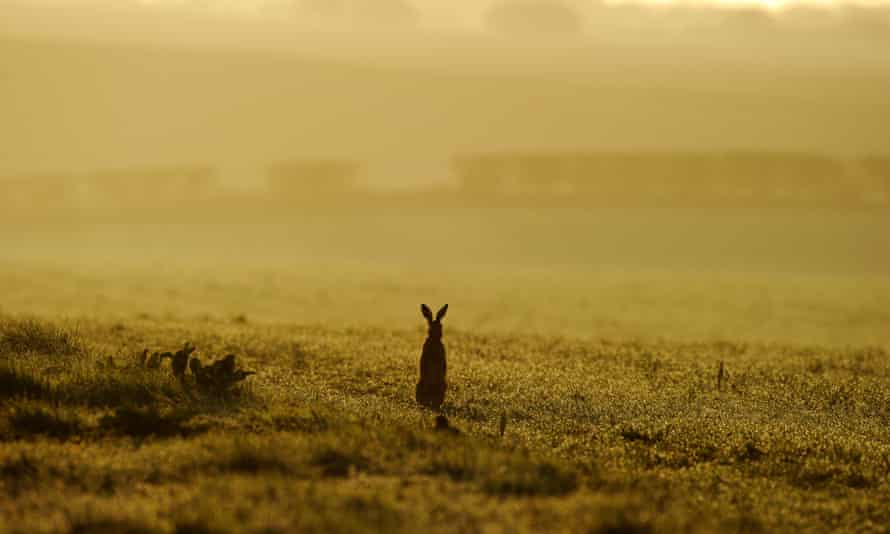 A brown hare in Norfolk. 'Have hares, have our national landscape,' writes John Lewis-Stempel