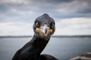 The piercing green eyes of a shag on the Farne Islands in Northumberland.
