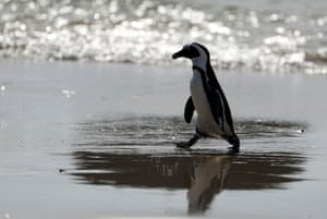 An endangered African penguin emerges from the water at near Cape Town