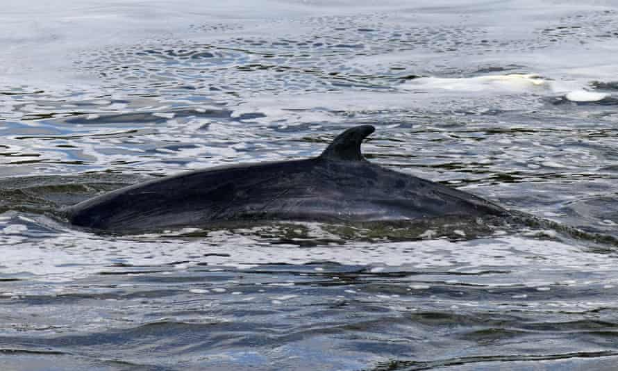 A minke whale that became stranded in the Thames this week, with hundreds of people following the effort to rescue it.